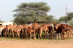 national research center of camel
